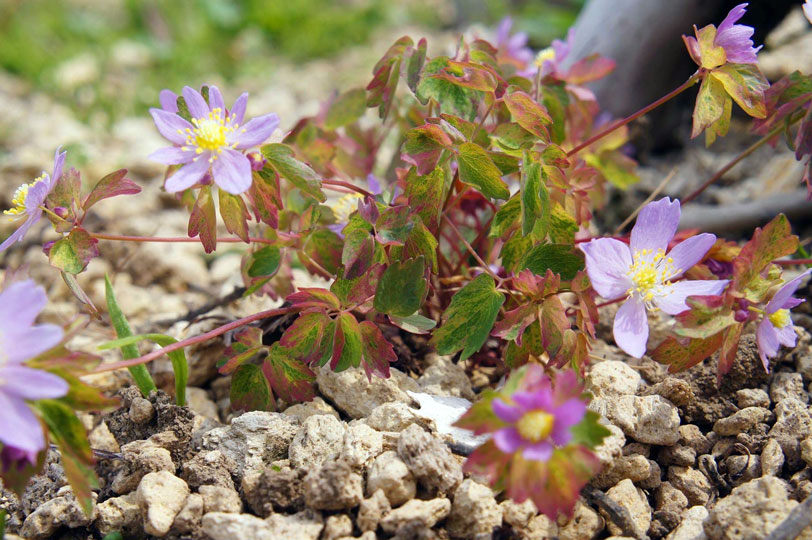 Anemonella thalictroides Hakikomi Fu