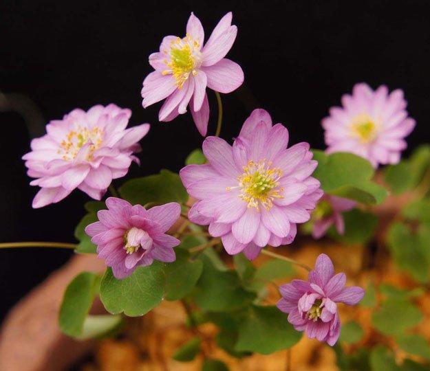Anemonella thalictroides Kikuzaki Pink