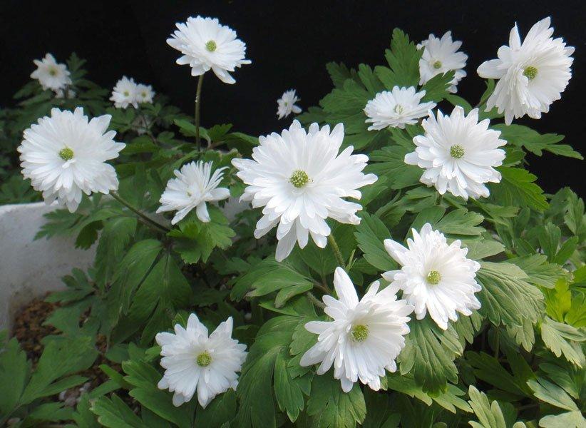 Anemone pseudoaltaica Yukinosei