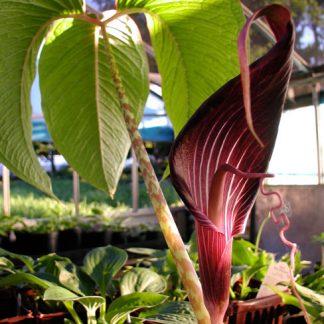 Arisaema speciosum Himalayan Giant