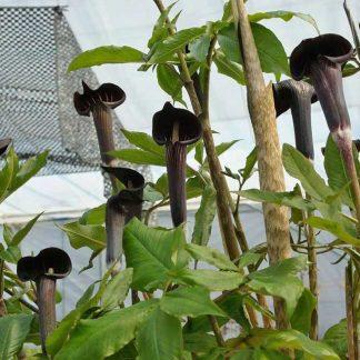 Arisaema serratum var. mayebarai