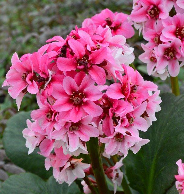 Bergenia Sakura