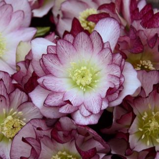 Helleborus Blushing Bridesmaid