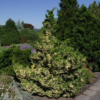 chamaecyparis obtusa'Baldwin variegated'