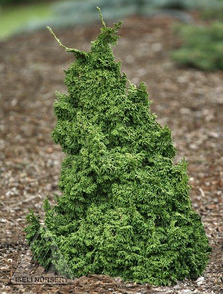 chamaecyparis obtusa 'Gemstone'