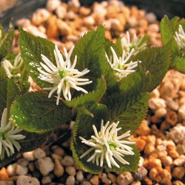 Chlorathus japonicus