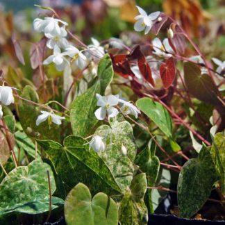Epimedium diphyllum 'Vanilla Ripple'
