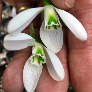 Galanthus plicatus Colossus