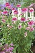 Echinacea Pink Double Delight