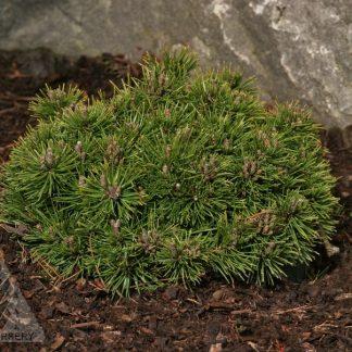 Pinus Mugo 'Donna's Mini'
