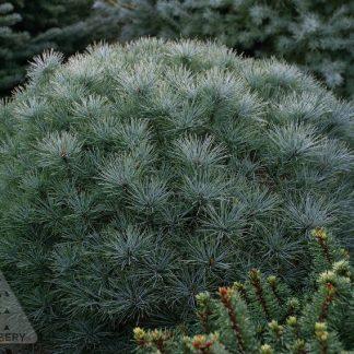 Pinus Strobus'Sea Urchin'