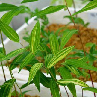 Polygonatum falcatum 'Nippon Sunbeam'