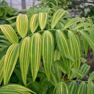 Polygonatum falcatum Tiger Stripes