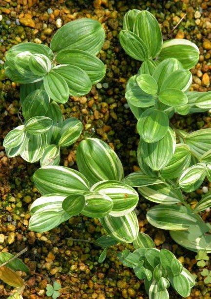 Polygonatum humile Little Streaker