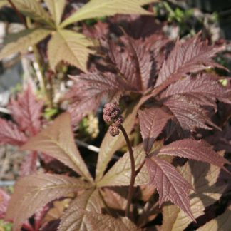 Rodgersia podophylla 'Bloody Wheels'