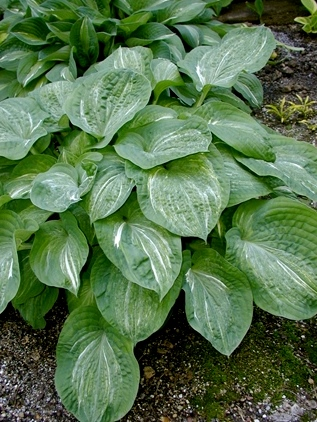 Spilt Milk   hosta