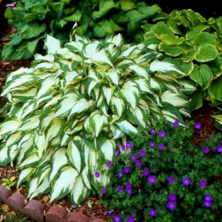White Elephant hosta