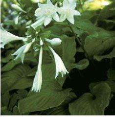 Aphrodite (plantaginea)