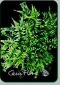 Athyrium niponicum 'Pictum'  'Applecourt Crested'