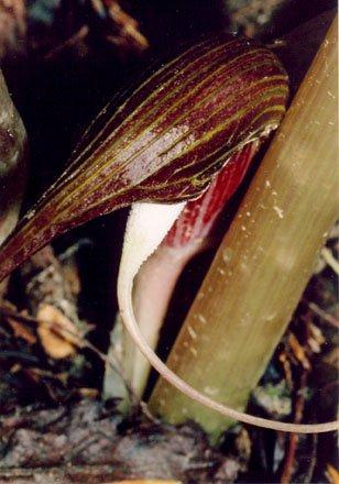 Arisaema speciosum var. mirable