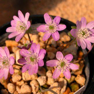 Hepatica asiatica var. japonica (pink/red)