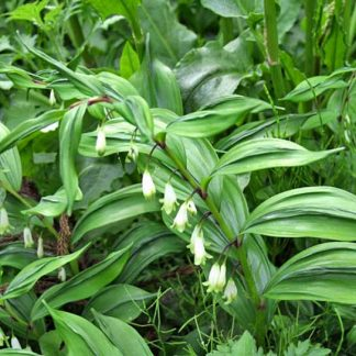 Polygonatum odoratum Koryu