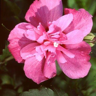 hibiscus 'Sanchoyo'