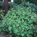 hydrangea quercifolia 'Sikes Dwarf'