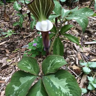 Arisaema sikokianum Silver Center form