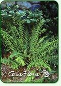 Athyrium filix-femina            Victoriae Lady fern 'Victoriae'