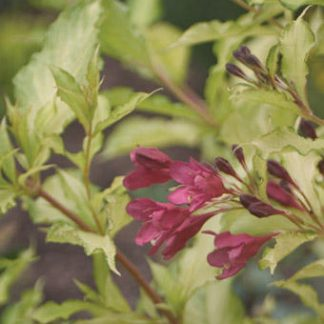 weigela  'Ghost'