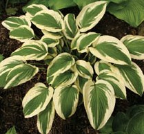 Winter Warrior hosta