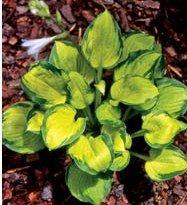Wylde Green Cream hosta